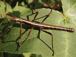 STICK IT TO 'EM Walking stick insects like this one can lash out at predators with noxious chemical sprays emitted from a gland behind the head.